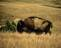 buffalo001