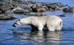 polar_bear003