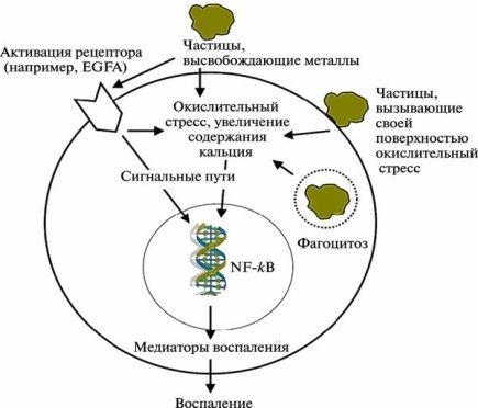Рис. 2. Гипотетический механизм клеточного взаимодействия с частицами наноразмера.