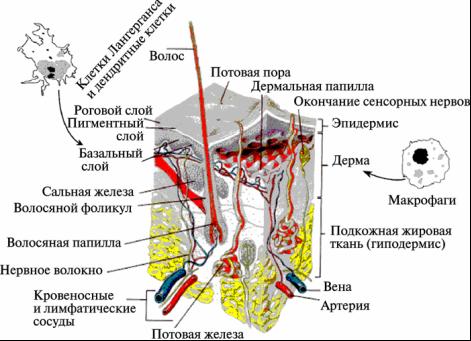 Рис. 7. Проникновение наночастиц через кожу.