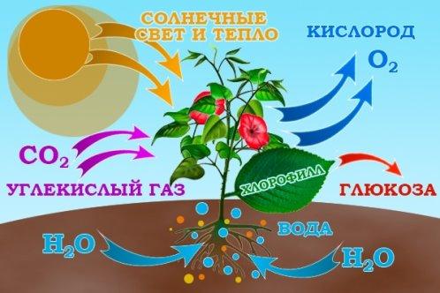 fotosintez-shema.jpg