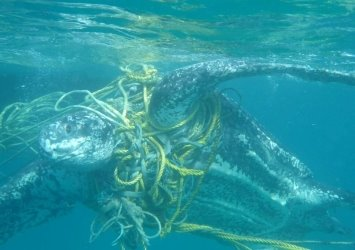 Остатки человеческой деятельности ответственны за гибель морских жителей по всему миру.