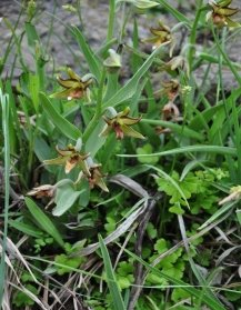 C:\Users\Administrator\Documents\A.Akmyradow. Usuly gollanma. 2015\Методичка 2, 2015 г\Epipactis veratrifolia.JPG