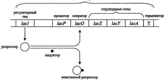 https://lifelib.info/microbiology/prokariot_2/prokariot_2.files/image006.jpg
