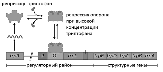 https://foxford.ru/uploads/tinymce_image/image/14725/trp_operon_ru_1.png