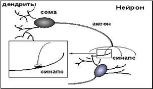 Схема нейрона и межнейронного взаимодействия