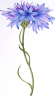 http://www.amandawilloughby.com/aaa-cornflower.gif