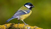 F:\досуг зимующие птицы\картинка СИНИЦА.jpg