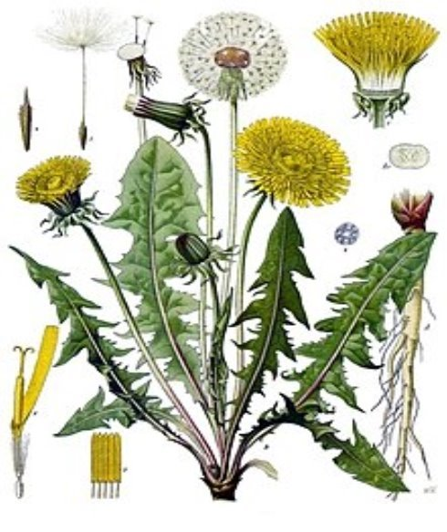 Описание: https://upload.wikimedia.org/wikipedia/commons/thumb/b/b2/Taraxacum_officinale_-_K%C3%B6hler%E2%80%93s_Medizinal-Pflanzen-135.jpg/220px-Taraxacum_officinale_-_K%C3%B6hler%E2%80%93s_Medizinal-Pflanzen-135.jpg