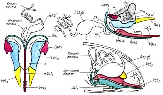 Рис. 28. Строение ядовитого аппарата медоносной пчелы: А - вид сверху; Б - схема ядовитого аппарата; В - вид сбоку; V al1t - поперечный отросток; Res. gl.- резервуар кислой (парной) железы, при сокращении мышцы m18 конец створки Val1 втянут, при сокращении мышцы m17 выдвигается. Остальные обозначения те же, что на рис. 27