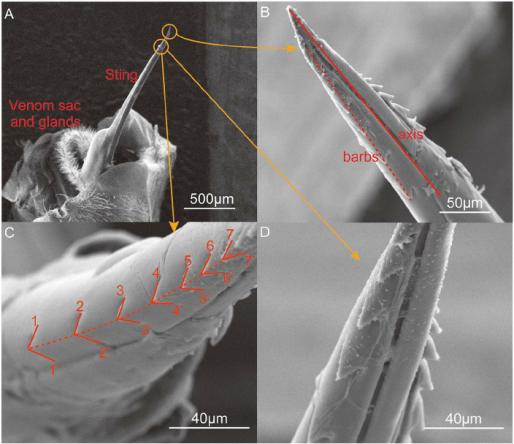 Окружающий сканирующий электронный микроскоп снимок жала.  (A) иглоподобное жало, мешочек с ядом и связанные с ним железы.  Жало активируется мышцами, чтобы проникнуть в кожу жертвы.  (B) Зубцы вдоль осевого направления жала.  Сплошная линия на рис. 3 (б) - это ось жала, которая получается путем соединения кончика жала и средней точки корня жала.  Жало Apis mellifera ligustica имеет два ряда зубцов, каждый из которых содержит около 10 зубцов.  Угол между рядами зубцов и осью стержня жала составлял около 8–9 мкм, согласно наблюдениям на 10 образцах.  Было обнаружено, что ряд зубцов образует правую спираль.  (С) Увеличенное изображение зубцов.  Семь бородок отмечены обозначениями 1–1 9, 2–2 9 и т. Д. Обратите внимание, что углы кончиков были 90,33, 89,62, 80,31,  72,13, 72,36, 59,63 и 46,19, демонстрируя тем самым, что зазубрины были относительно острыми у кончика жала.  (D) Увеличенный вид двух рядов зубцов.  При осмотре в осевом направлении углы между двумя рядами зубцов были около 95 °.
