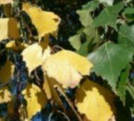C:\Users\Галина\Desktop\Я - ИССЛЕДОВАТЕЛЬ\Денис БЕРЕЗА\фото березы\yellow-green-birch-leaves-725x544.jpg
