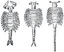 Рис. 192. Строение Artemia salina, живущей при разной солености воды