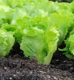 Начало образования кочанчиков салата