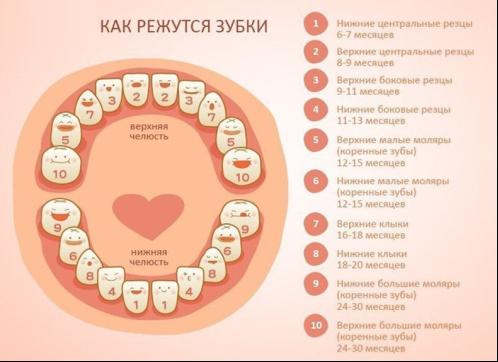 График прорезывания молочных зубов