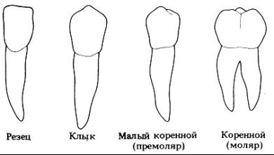 Типы зубов по функциональному назначению