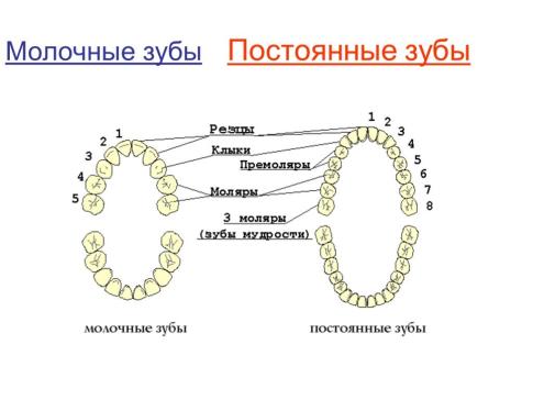 Схема смены молочных зубов постоянными