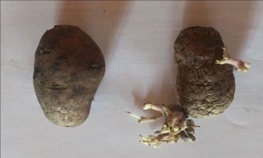 Клубни картофеля. Опыт (справа), контроль (слева)