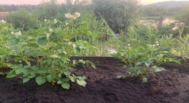 Цветение Картофеля. Опыт (слева), контроль (справа)