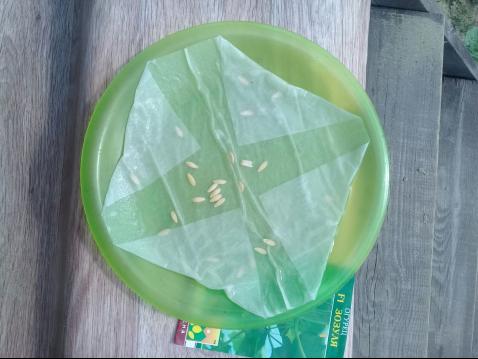 Фаза набухания семян