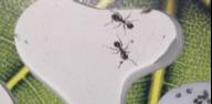 Взрослые муравьи — имаго
