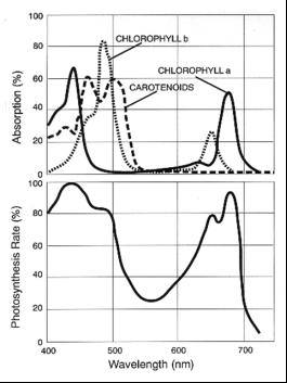 Спектр поглощения хлорофиллов и каротиноидов и действия ФАР