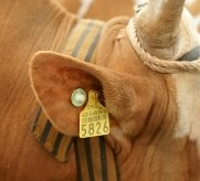 Чип в ухе у животного
