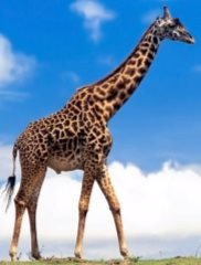 C:\Users\User\Desktop\82836312_2222299_giraffe76.jpg
