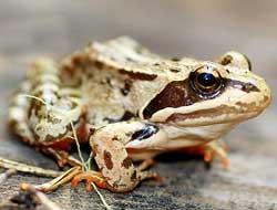 Малоазиатская лягушка