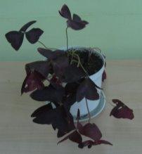 G:\Исслед.работа Биоритмы у растений Мачнев Артём\Фото рабочие\IMG_5662.JPG