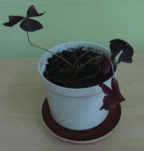 G:\Исслед.работа Биоритмы у растений Мачнев Артём\Фото рабочие\IMG_5675.JPG